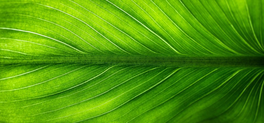 leaf, nature, green